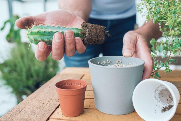 Cactus Repotting