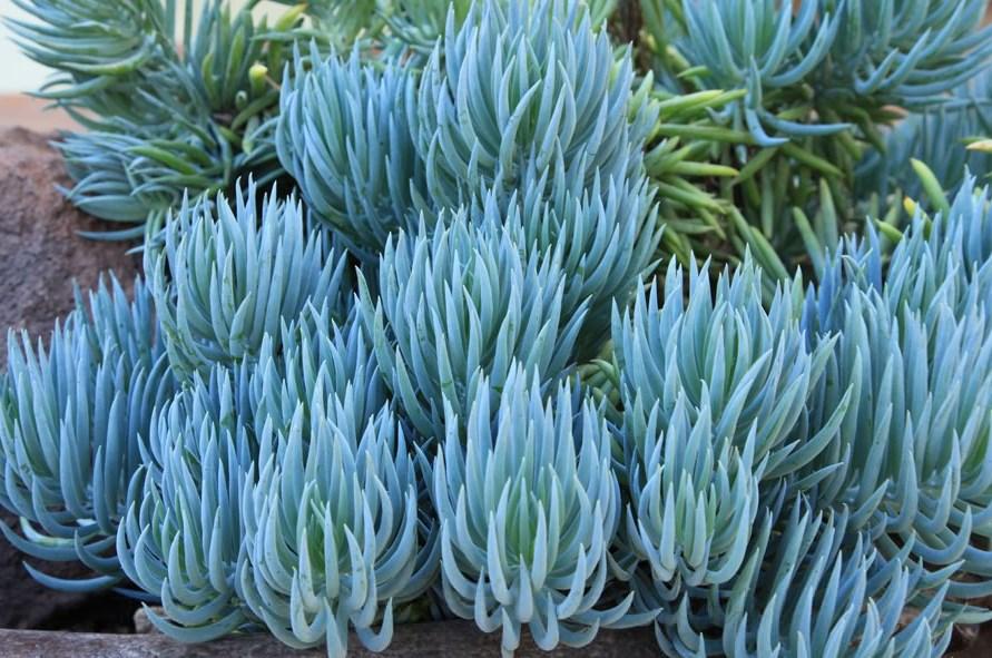 Senecio Mandraliscae 'Blue Chalksticks'
