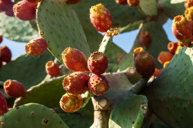 Texas Prickly-pear