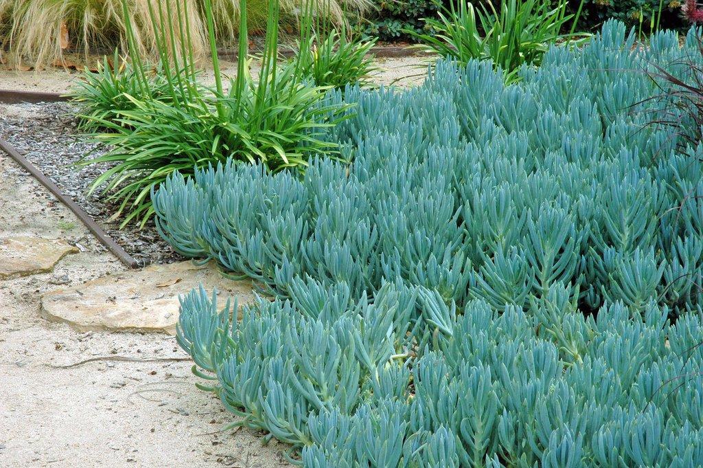 Senecio mandraliscae (Blue Chalk Sticks) – Ricardo's Nursery